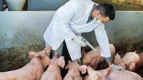 Foto de Primera vacuna contra la peste porcina africana