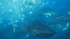 Foto de Cepesca, decepcionado con ICCAT por no lograr un nuevo acuerdo sobre el atún patudo