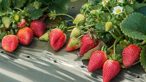 Foto de Huella ambiental del cultivo de la fresa