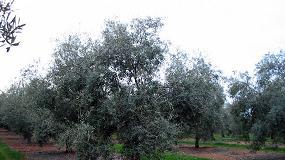 Foto de Estrategia herbicida en olivar para el otoño-invierno