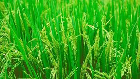 Foto de Satisfacción por las medidas de protección a las importaciones de arroz de Camboya y Myanmar