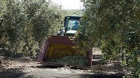 Foto de Parte de la cosecha de aceituna en Córdoba se queda sin recoger por la falta de mano de obra