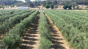 Foto de Publicado un ensayo de variedades de olivar en seto en Extremadura