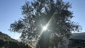 Foto de El olivar gallego: un tesoro poco conocido