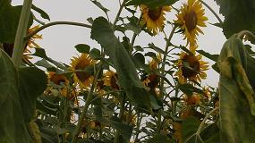 Foto de El girasol quiere ganar protagonismo en una agricultura sostenible y rentable