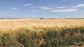 """Foto de Agroseguro comienza a peritar en Castilla y León ante la """"mala"""" campaña de cereal"""