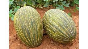 Foto de Haifa lanza recomendaciones nutricionales para el cultivo del melón al aire libre