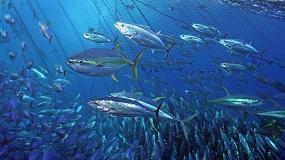 Foto de Un nuevo método genético permite identificar el origen de los atunes rojos