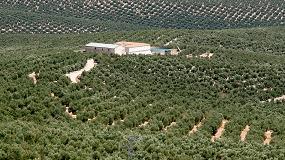 Foto de Los olivareros temen caídas en la cosecha de hasta un 40%