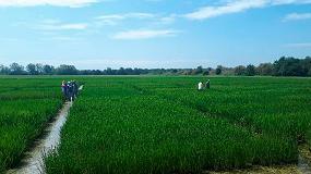 Foto de Sorprendentes y positivos resultados de variedades de arroz tolerantes a la salinidad