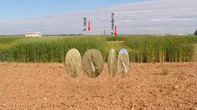 Foto de Las variedades locales españolas de trigo blando y duro poseen una alta diversidad genética