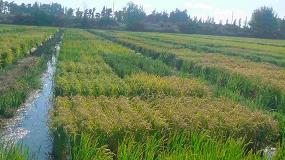 Foto de El proyecto Neurice lleva a registro 6 variedades de arroz tolerantes a la salinidad