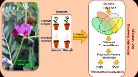 Foto de Herramientas moleculares en estrategias de mejora frente a sequía en la veza común