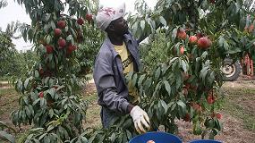 Foto de El sector de fruta de hueso necesita mano de obra estacional