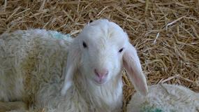 Foto de Organizaciones y cooperativas piden que las ayudas de ovino y caprino de carne lleguen directamente al ganadero