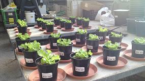 Foto de Aplicación de gallinaza compostada sin tratar y tratada con antibióticos en un cultivo de lechuga batavia (Lactuca sativa)