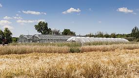 Foto de Las variedades de trigo españolas pueden jugar un papel clave en la mejora del cultivo