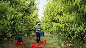 Foto de AEFA entrega más de 85.000 mascarillas a trabajadores para la recogida de fruta