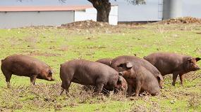 Foto de Ayudas de 30 euros por animal para el cerdo Ibérico