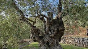Foto de El Mejor Olivo Monumental de España 2020 se encuentra en la isla de Mallorca