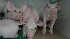 Foto de El sector porcino resistió en abril con un incremento de producción del 0,4%