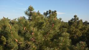 Foto de Centro Pinus promove inquérito às práticas de fertilização em pinheiro-bravo