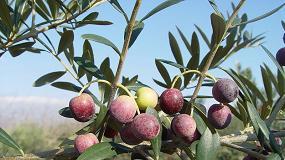Foto de El IRTA analiza cómo afectará el cambio climático al cultivo del olivar mediterráneo