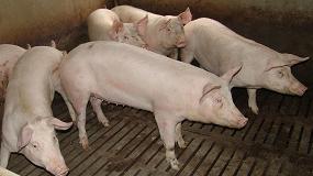 Foto de Las interacciones entre cerdos afectan a la eficiencia alimentaria