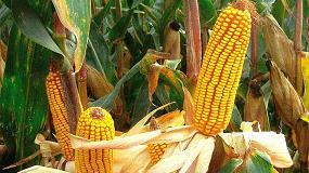 Foto de El sector del maíz en la Península Ibérica pide utilizar las herramientas biotecnológicas para afrontar el reto de la sostenibilidad