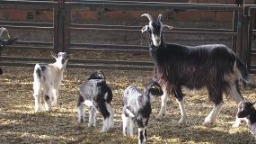Foto de Julio marca otra caída en la producción de carne de caprino con el 6,4% de bajada interanual