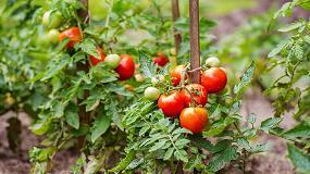 Foto de Un trabajo de investigación obtiene resultados sobre la eficiencia del uso del Nitrógeno en tomate