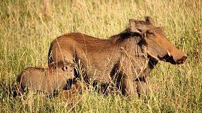 Foto de La microbiota intestinal es una factor de susceptibilidad ante la Peste Porcina Africana