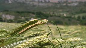Foto de UPA inicia su segunda campaña de ensayos con nuevas variedades de cereal de invierno en Castilla y León