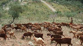 Foto de Andalucía ya cuenta con casi el 50% de los productores españoles de caprino de leche