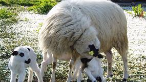 Foto de Castilla y León apuesta por relaciones contractuales sólidas en el ovino y caprino de carne