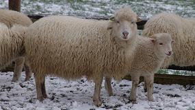 Foto de La raza y el sistema de producción provoca diferencias significativas en la calidad de la carne de cordero