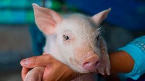 Foto de Mejora genética en porcino para aumentar la resistencia a enfermedades y reducir el uso de antibióticos