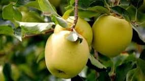 Foto de Buen ritmo de ventas de manzanas, pero peligra el enlace de campaña