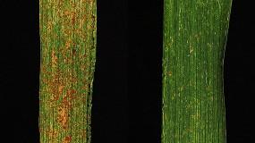 Foto de OGM: 'Sanduiche' de genes aumenta a resistência do trigo à ferrugem