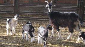 Foto de El peso medio de los animales de la especie caprina sacrificados en España se eleva un 6,1% anual