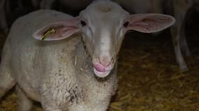 Foto de El coste del concentrado para el cebo de corderos continúa al alza en el primer mes de 2021