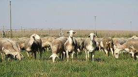 Foto de Vendidos los 116 machos ofertados en la subasta de Agrama con un precio medio de 746 euros