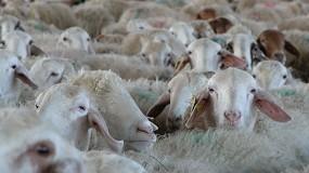 Foto de El sector productor de leche de oveja cerró el año con un descenso del 4,7% en el número de ganaderos