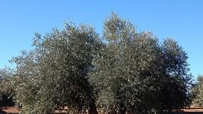 Foto de Estudian la influencia de calcio para mejorar la calidad y cantidad del aceite de oliva