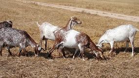 Foto de Un total de 221 millones de litros de leche de cabra fueron vendidos sin transformar por los primeros compradores