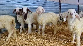 Foto de Los corderos ligeros de España tienen una cotización un 5,6% superior a la media de la Unión Europea