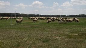 Foto de Una investigación muestra el papel de los ovinos como hospedadores del agente causante de la tuberculosis