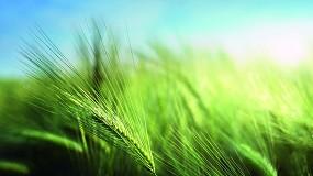 Foto de COAG CyL prevé una buena cosecha de colza y trigo pero rebaja las expectativas en cebada y forrajes