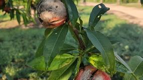 Foto de Un mes de abril especialmente adverso causa daños en frutas de hueso y cítricos