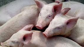 Foto de Un nuevo pestivirus ovino puede conferir protección en cerdos contra la peste porcina clásica
